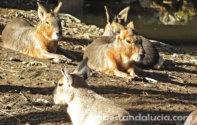Capybaras in Selwo Avenura, Estepona