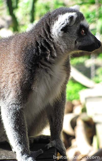 Lemur in Selwo Avenura,  Estepona