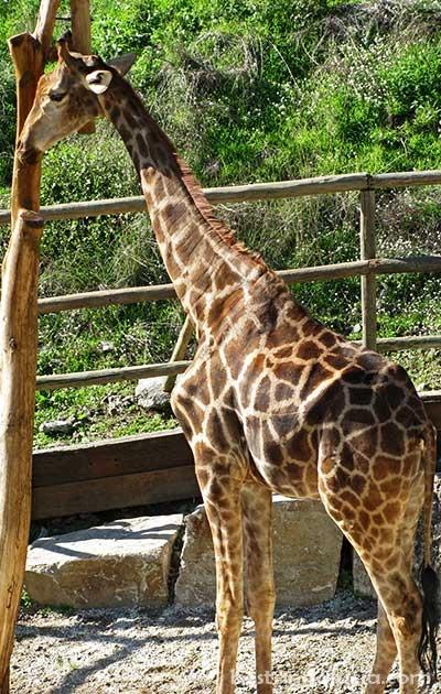 Giraffes in Selwo Avenura, Estepona