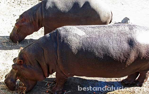 Hippos in Selwo Aventura
