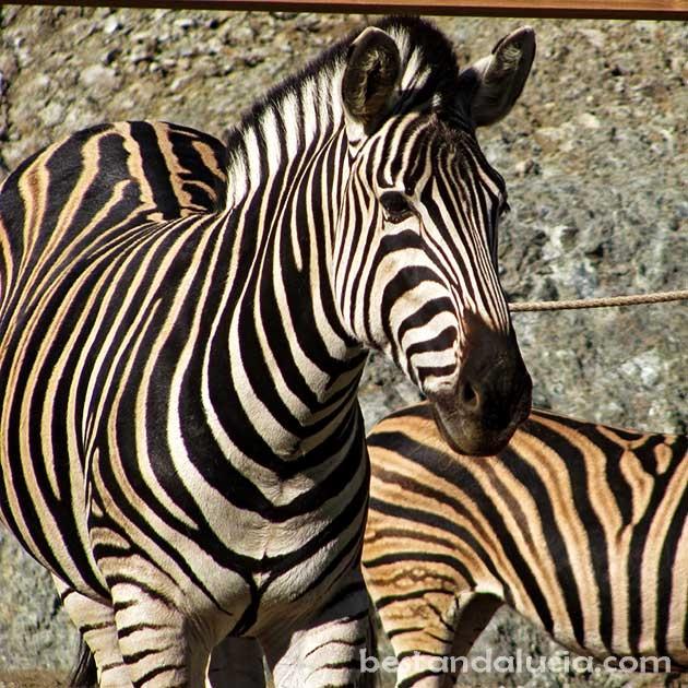 Zebras in Selwo Avenura, Estepona
