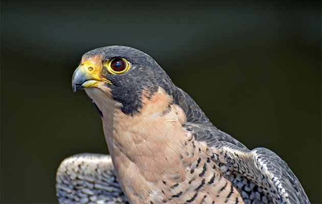 Peregrine-Falcon-Profile_630x400